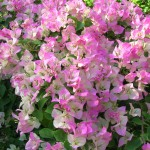 Bougainvillea 'Pink and White Surprise'