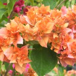 Bougainvillea (Double Orange)