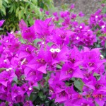 Bougainvillea (Purple)