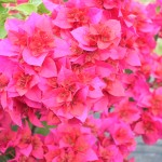Bougainvillea (Double Red)
