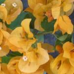 Bougainvillea (Yellow-Orange)
