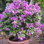 Bougainvillea (Purple Bonsai)