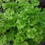 Petroselinum crispum (Parsley)