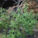 Thymus vulgaris (Thyme)