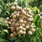 Dimocarpus longan (Longan)