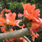 Bombax ceiba (Orange Silk Cotton Tree)