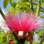 Pseudobombax ellipticum (Shaving Brush Tree)