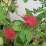 Calliandra emarginata (Pink Powderpuff)