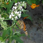 Danaus plexippus on Buddleja davidii (Monarch Butterfly on Butterfly Bush)