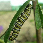 Danaus plexippus on Gomphocarpus physocarpus (Monarch Butterfly Larva on Balloon Cotton-bush)