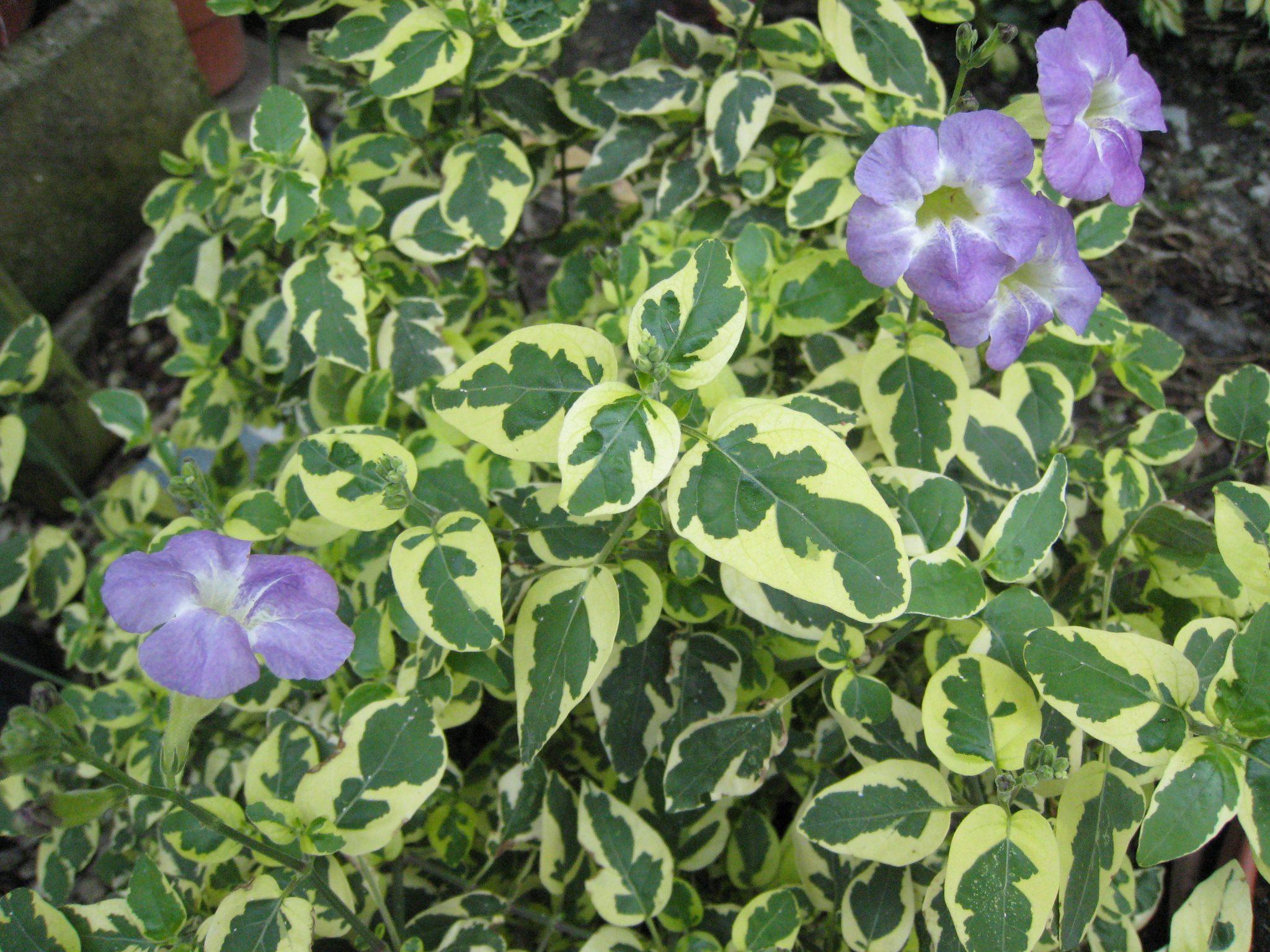 Asystasia gangetica 'Variegata'(Variegated Chinese Violet ...