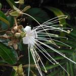 Capparis cynophallophora (Jamaican Caper)