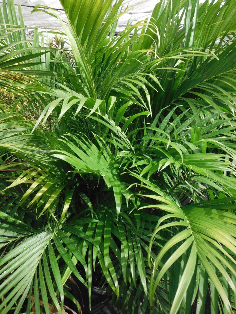 Chamaedorea Cataractarum Cat Palm7 Richard Lyons