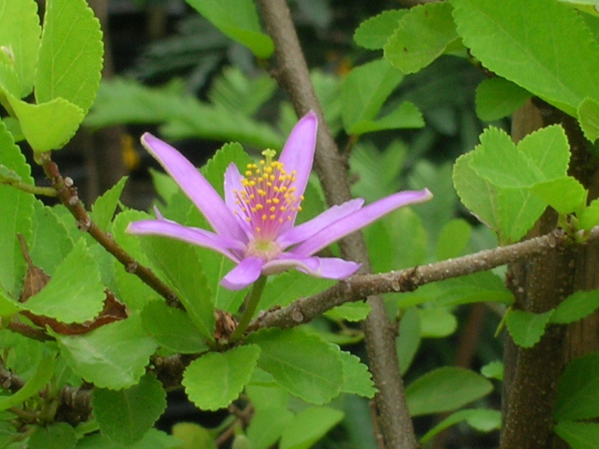 Grewia occidentalis (Lavender Star Flower)