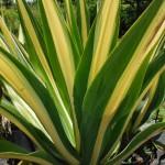 Furcraea foetida (Mauritius Hemp)
