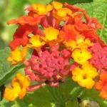Lantana camara (Orange Red Lantana)