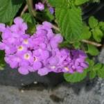 Lantana montevidensis (Lavender Trailing Lantana)