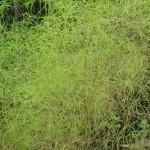 Muhlenbergia dumosa (Bamboo Muhly Grass)
