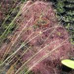 Mulenbergia capillaris (Muhly Grass)