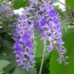 Petrea volubilis (Queen's Wreath)