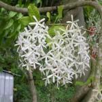 Petrea volubilis var. albiflora (White Queen's Wreath)