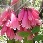 Tecomanthe dendrophila (New Guinea Trumpet Vine)