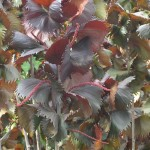 Acalypha wilkesiana 'Fire Dragon' (Copperleaf)