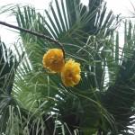 Cochlospermum vitifolium 'Plena' (Buttercup Tree)