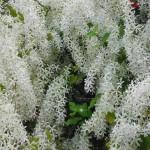 Petrea volubilis var. albiflora (White Queen's Wreath Vine)