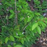 Eugenia axillaris (White Stopper)