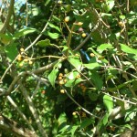 Eugenia rhombea (Red Stopper)