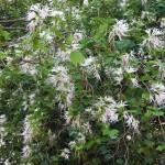 Bauhinia divaricata (Butterfly Orchid Tree)