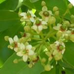 Exothea paniculata (Inkwood)