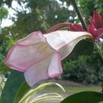 Portlandia grandiflora (Tree Lily)