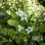 Randia aculeate (White Indigoberry)