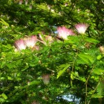 Calliandra surinamensis (Pink and White Powderpuff)