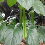 Cubanola domingensis (Dominican Bell Flower)