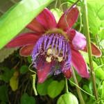 Passiflora alata (Winged Stem Passion Vine)