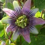 Passiflora alatocaerulea (Three Lobed Passion Vine)
