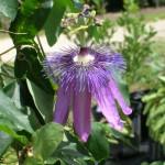 Passiflora amethystina x P. caerula 'Lavender Lady' (Passion Vine)