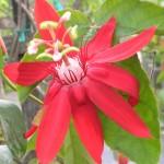 Passiflora coccinea (Scarlet Passion Vine)