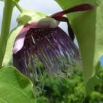 Passiflora quadrangularis (Giant Granadilla)