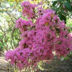 Lagerstroemia indica (Light Pink Crape Myrtle)