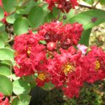 Lagerstroemia indica (Red Crape Myrtle)