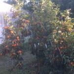 persimmon Triumph tree