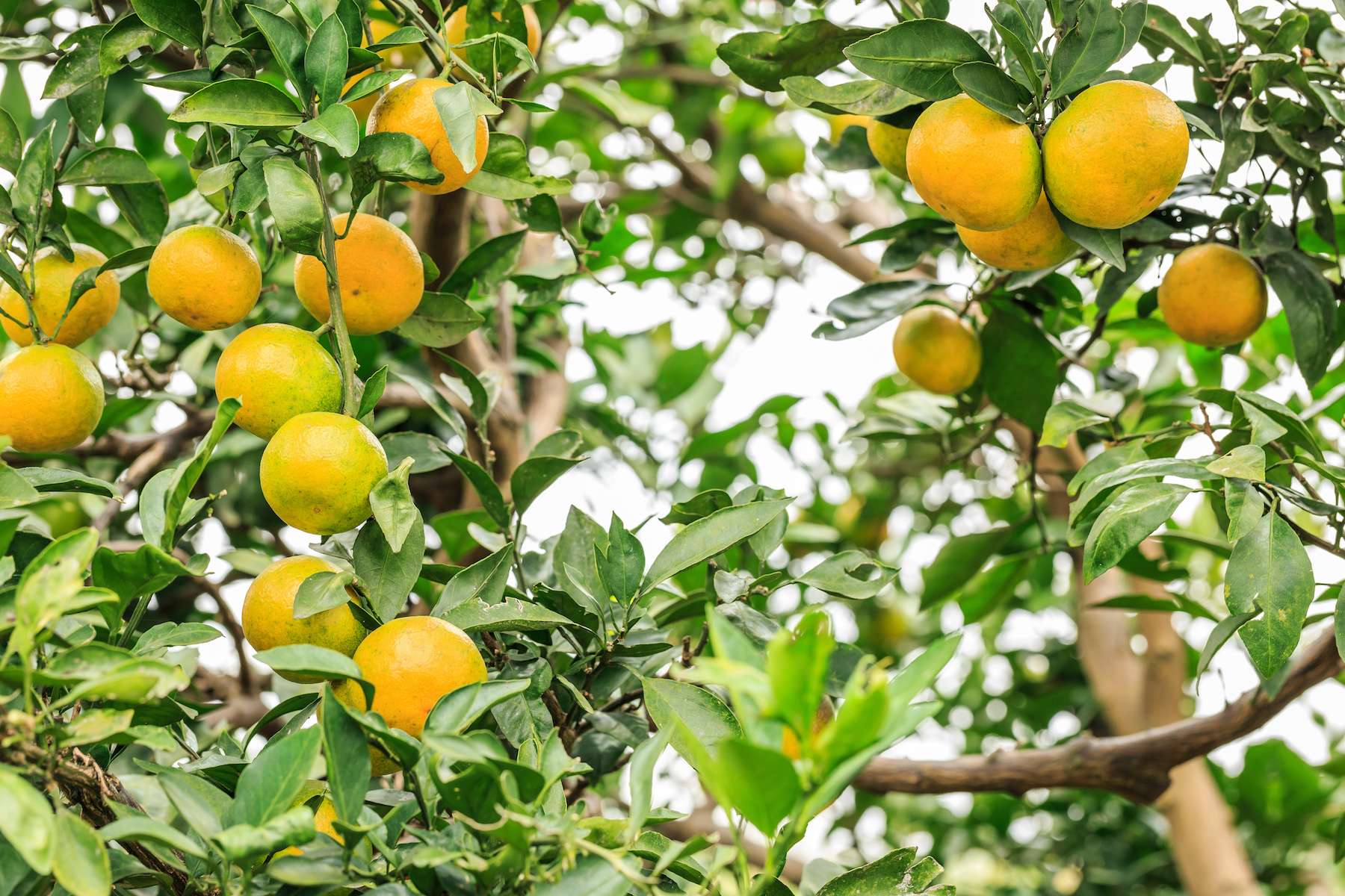 Richard Lyons Nursery no longer sells citrus trees.