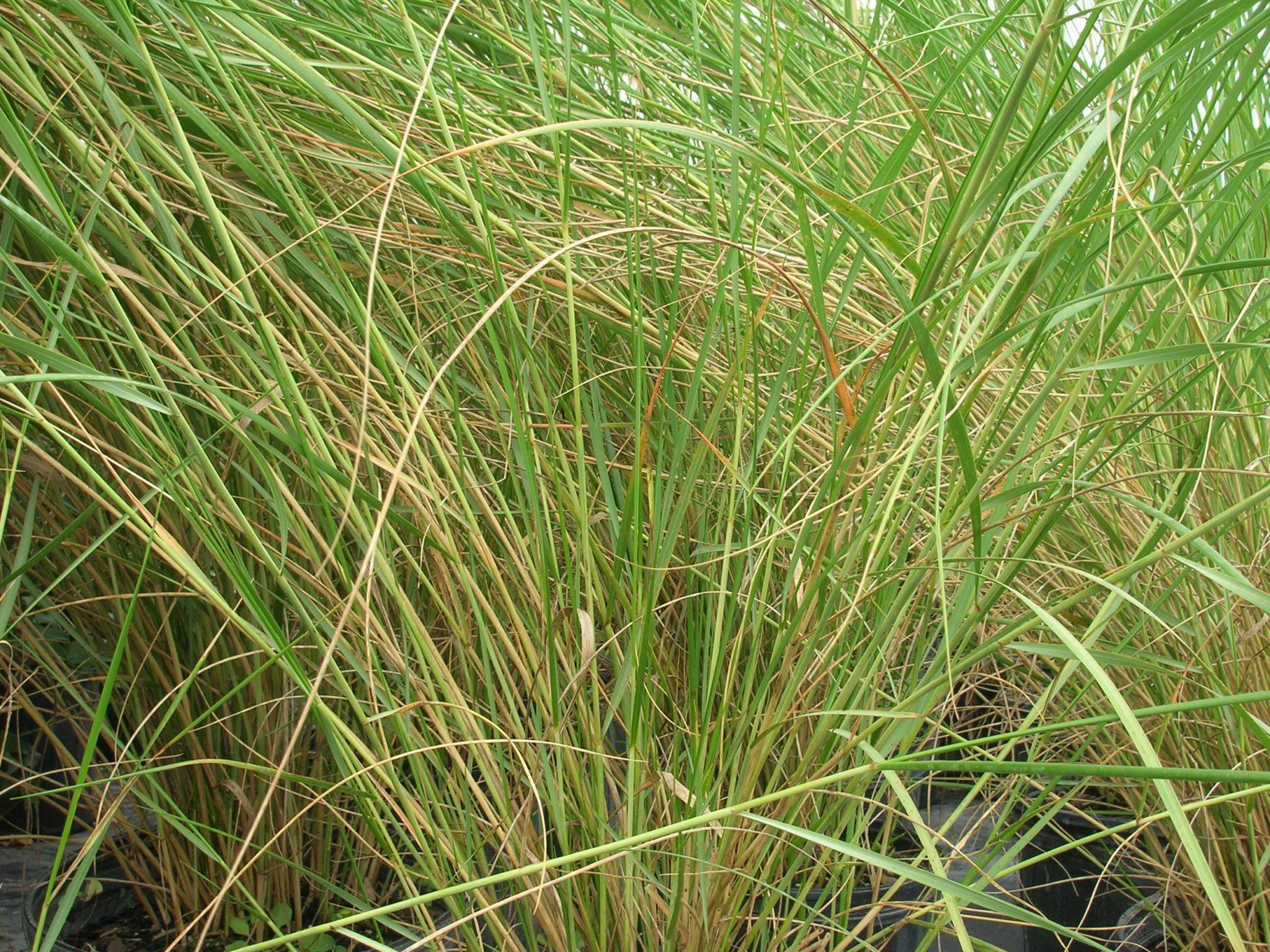 tripsacum floridana  dwarf fakahatchee grass