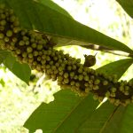 Pouteria sapota (Mamey)