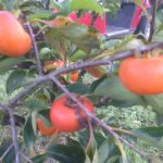persimmon Triumph with fruit